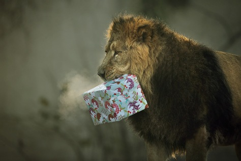 London, England: Lucifer the lion holds a Christmas present