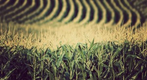 corn_fields_crops