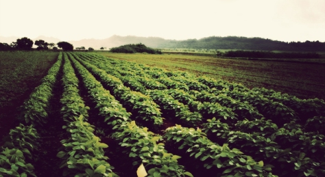 rows_of_soy_crops