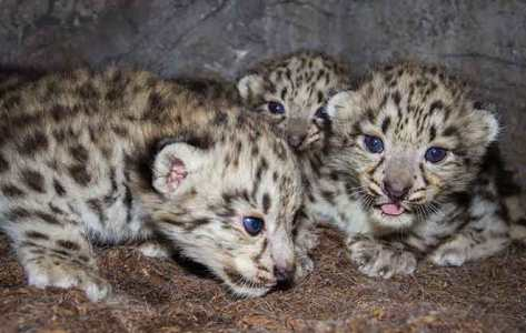 snowleopardcubs