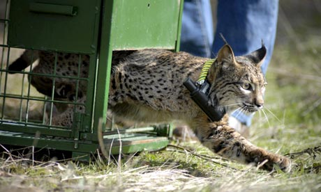 A lynx born in captivity is released into the wild in Andalusia, Spain