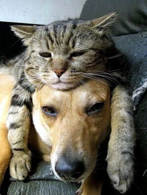 Cat lying on dog's head