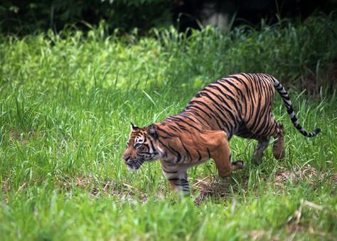 A Sumatran tiger stalks its prey in Indonesia