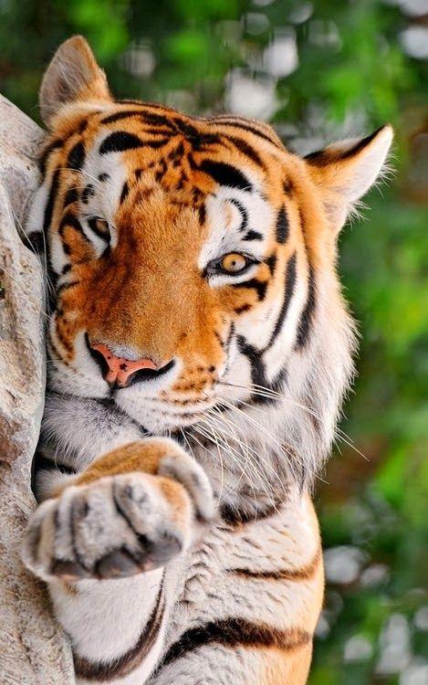 tiger_30